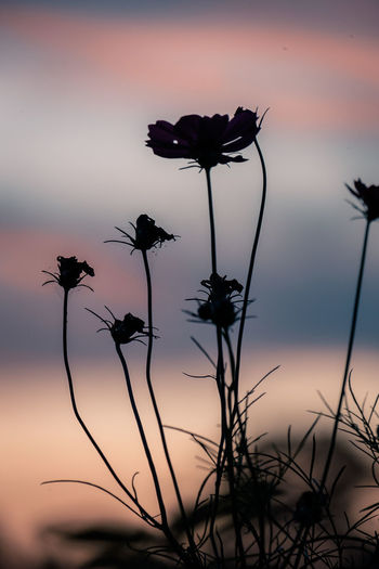 Silhouette of flowering plants against sky during sunset