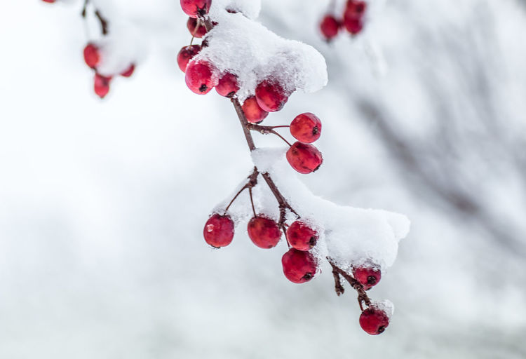 Close-up of frozen red berries on tree