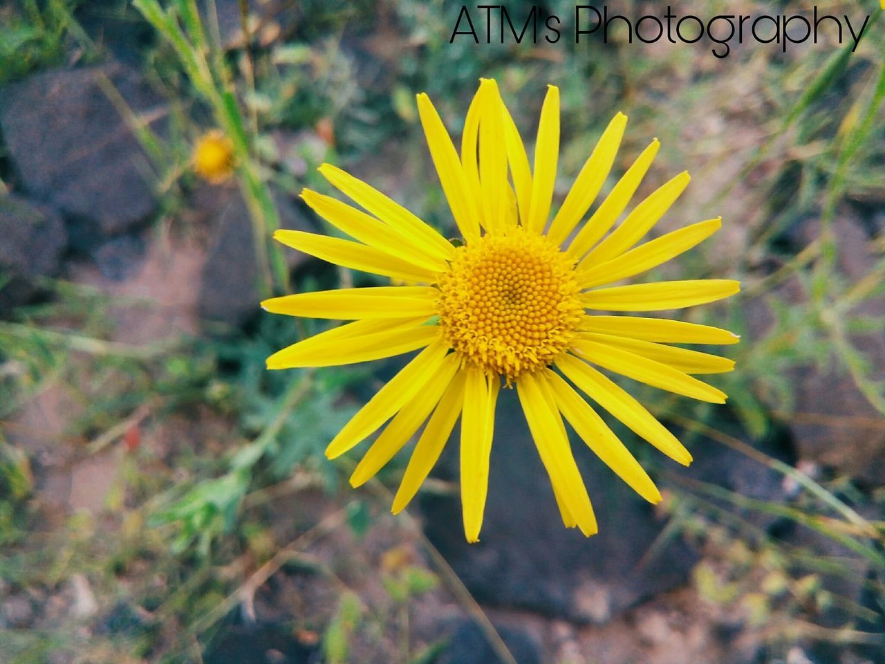 flower, yellow, plant, nature, growth, petal, fragility, flower head, beauty in nature, freshness, outdoors, no people, blooming, day, close-up