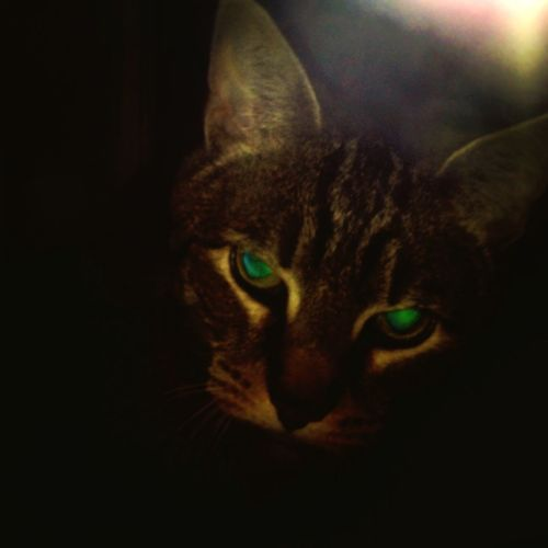 Domestic Cat One Animal Pets Green Eyes Tabby Cat Feline Scary Cat Evil Cat