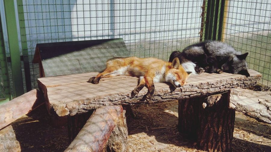 Hi! ^_^ EyeEm Gallery ZooLife Amazing Foxes Basking In The Sun First Eyeem Photo