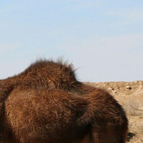 Camel Nature Beautiful Naturelovers Naturallandscape Naturelovers Iran Mustseeiran Desert Desertlife