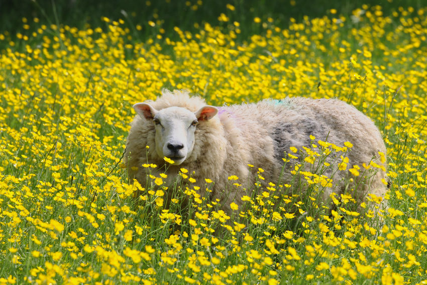 Sheep in a daisy field Animal Animal Themes Animal Wildlife Animals In The Wild Beauty In Nature Day Domestic Domestic Animals Field Flower Flowerbed Flowering Plant Freshness Land Mammal Nature No People One Animal Outdoors Plant Portrait Springtime Yellow