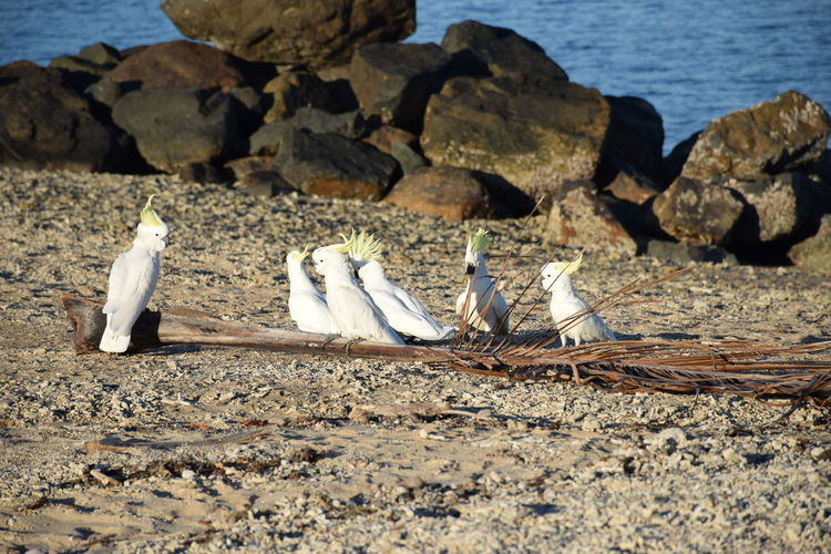 Sulphur-crested cockatoos perching on shore