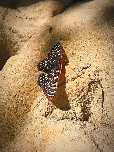 One Animal Animal Themes Insect Animals In The Wild Wildlife Butterfly Close-up Zoology Animal Markings Outdoors Nature No People Beauty In Nature Wing Crawling EyeEm Nature Lover