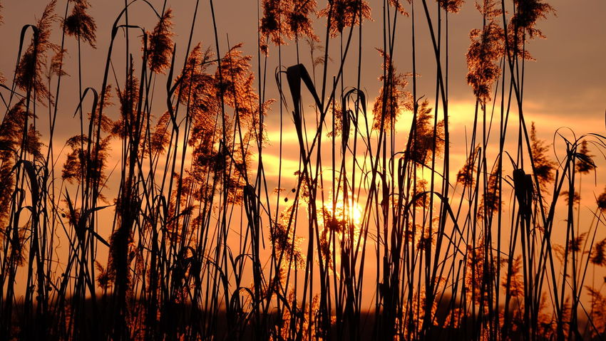 Schalkenmehren Beauty In Nature Close-up Growth Nature No People Outdoors Reed Scenics Silhouette Sunset Tranquil Scene Travel Destinations Perspectives On Nature See The Light EyeEm Ready   Summer Exploratorium