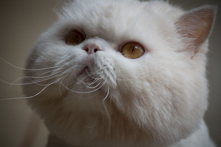 My Cat Animal Themes Pets Domestic Domestic Cat Animal One Animal Cat Mammal Domestic Animals Feline White Color Animal Body Part Close-up Persian Cat  Portrait Vertebrate Animal Head  Indoors  No People Whisker Animal Eye Contemplation Animal Nose