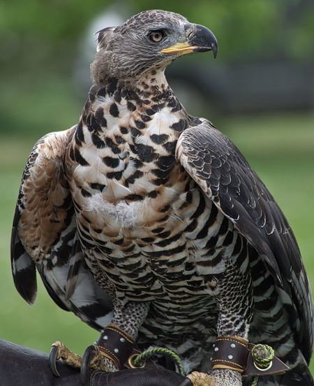 Jura, the crowned Hawk Eagle. Bird One Animal Animal Wildlife Animal Themes Focus On Foreground Bird Of Prey Day Perching Outdoors Close-up Feather  Nature Beauty In Nature No People Owl First Eyeem Photo Beak Falconry Hello World EyeEmNewHere Eagle Hawk Eagle Nature