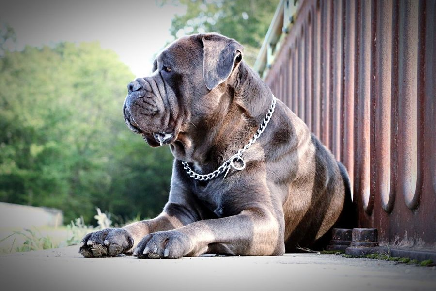 Ighlander Cane Corso Dog One Animal Domestic Animals Animal Themes Pets Relaxation Mammal Zoology Close-up Looking Away Focus On Foreground Animal Selective Focus Loyalty Laziness Resting Animal Head  Day Curiosity No People