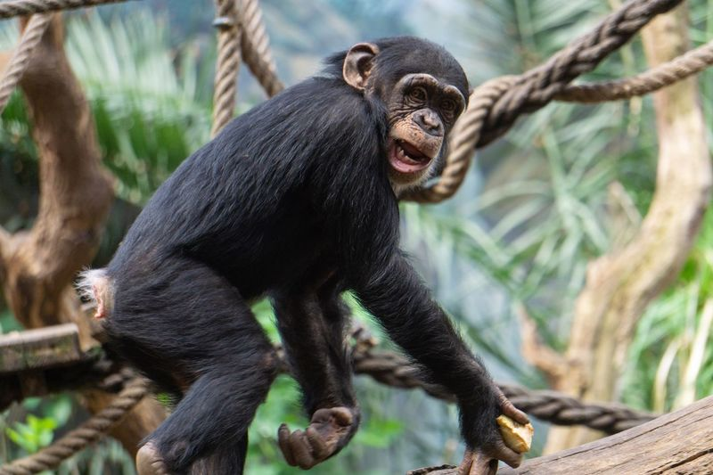 Stroling around Animal Behavior Animal Photography Animal Themes Close-up Monkey Face Sony A6000 Monkey Primate Ape Mammal Animal Wildlife Animals In The Wild One Animal No People Vertebrate Focus On Foreground Young Animal Outdoors Zoo Animals In Captivity Mouth Open Nature Day EyeEmNewHere