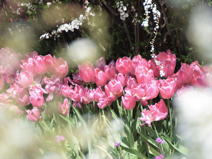 Tulips Tulip