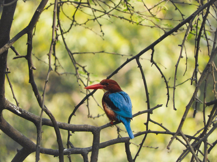 white throated kingfisher White Throated Kingfisher White Breasted Kingfisher Halcyon Halcyon Smyrnensis Perched Perching Blue Brown Colourful Bird Avian Branch Tree Bird Perching Tree Branch Blue Beak Kingfisher Bare Tree Animal Themes Wilderness Sight