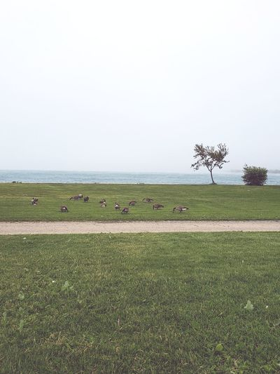 windy day #windyday #birds #Lunch #feeding #Wings #Lake #lakemichigan #Chicago #fog #june #goose #greengrass Water Sea Beach Tree Clear Sky Sky Grass Horizon Over Water Landscape Green Color Growing Grass Area Field