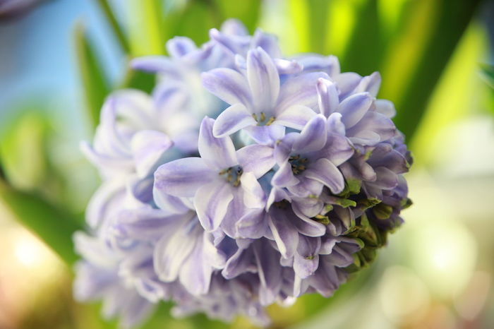 Love always my sweet hyacinth Beauty In Nature Close-up Day Flower Flower Head Fragility Freshness Growth Hyacinth Hyacinth Flower Nature No People Outdoors Plant Purple Purple Color Purple Flower Purple Flowers