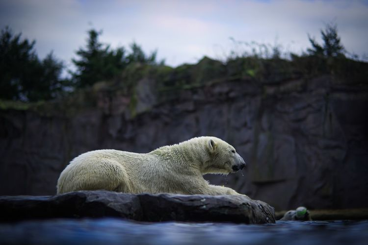 View of icebear on rock