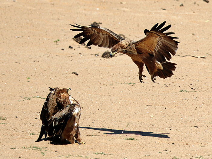 Close-up of eagle fighting on sand during sunny day
