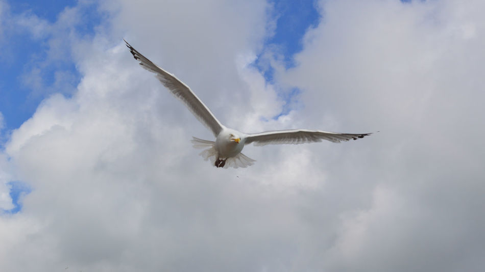 Animal Themes Animal Wildlife Animals In The Wild Bird Cloud - Sky Day Flying Herring Gull Mid-air Nature No People One Animal Outdoors Sea Bird Sea Gull Sea Gull In Flight Seagull Sky Spread Wings