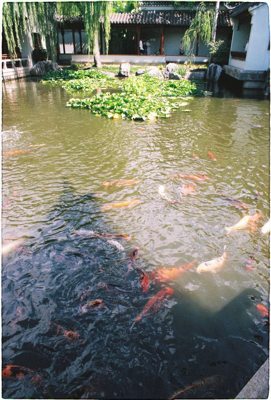 water, lake, fish, carp, vertebrate, swimming, group of animals, koi carp, nature, animal, animal themes, animal wildlife, animals in the wild, day, large group of animals, high angle view, underwater, waterfront, no people, outdoors, school of fish, floating on water, marine