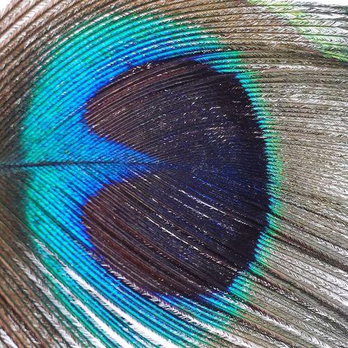 Peacock IPS2016Closeup
