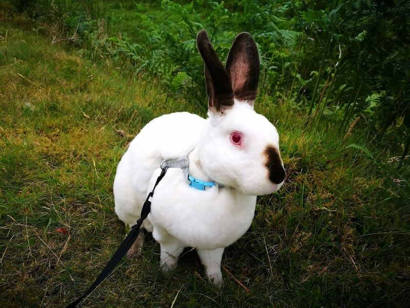 Hello World Animal Themes Bunnies Bunny  Bunny 🐰 Close-up Day Domestic Animals Field Grass High Angle View Mammal Nature No People One Animal Outdoors Pets Rabbit Rabbits Speedy The Cheeky House Bunny Standing