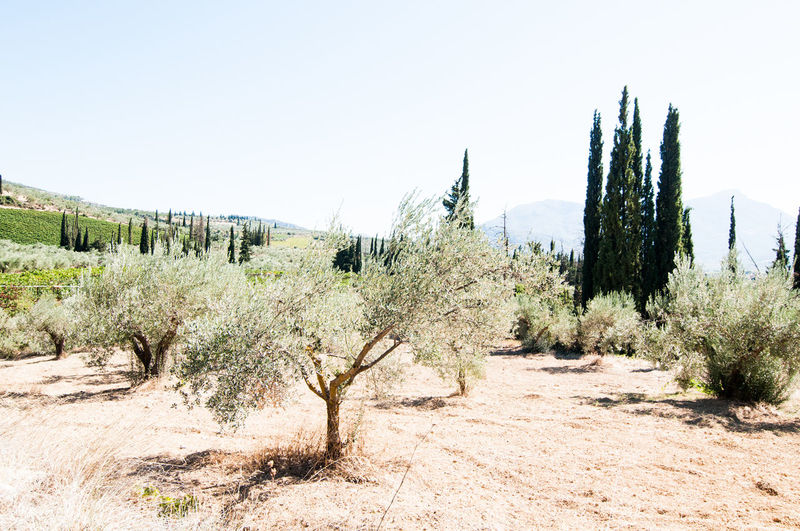 Nature Scenics Beauty In Nature Grape No People Green Color Rural Scene Tranquil Scene Winefields Krasi,oinos,olive_trees, Cypress Growth Sky Landscape Day Field Outdoors Tranquility Farm Agriculture Clear Sky Nemea, Wine,wine_bottle,wineyard,greece,peloponnese