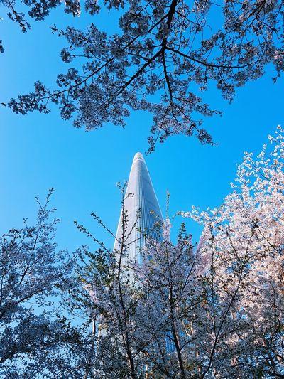 Sakura Sky Low