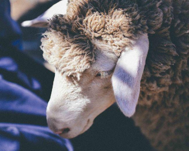 High angle view of sheep