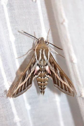Moth Beautiful