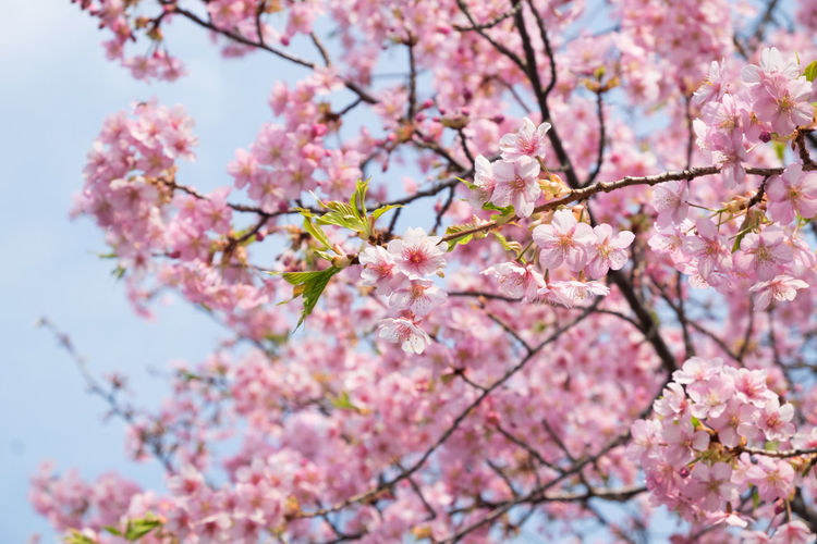 Cherry blossoms in full bloom. Pink Color Flowering Plant Flower Plant Freshness Fragility Tree Growth Vulnerability  Branch Blossom Springtime Cherry Blossom Beauty In Nature Nature Cherry Tree Low Angle View Day Close-up No People Outdoors Flower Head Plum Blossom Bunch Of Flowers Spring