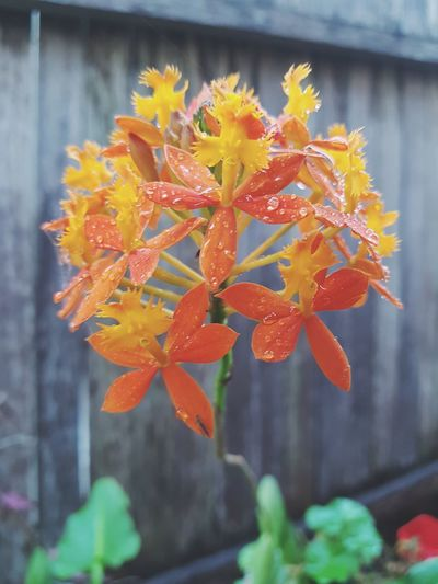 Crucifix Orchid Orchid Orchids Flower Orange Color Autumn Growth Plant Nature No People Close-up Flower Head Petal Macro_flower Floral Growth Springtime Spring Flowers Flora Raindrops On Flowers Raindrops On Leaves Macro Spring Orange