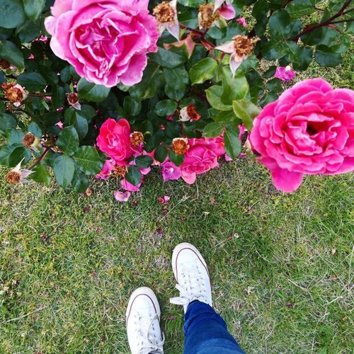 Low section of person standing on pink flowering plants