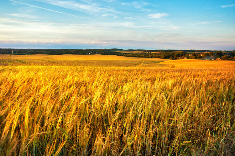 Gold Wheat flied panorama with village on background, rural countryside. Sunset on the crop field. Belarus, Minsk region Wheat Field Sunset Summer Farm Landscape Nature Rural Sun Agriculture Yellow Background Golden Sky Harvest Light Crop  Meadow Cereal Season  Plant Countryside Sunrise Blue Beautiful Scenery Scene Outdoor Environment Growth Green Horizon Sunlight Farming June July August Grain Corn Grass Land Sunny Village Europe Belarus Panorama Tranquil Scene Scenics - Nature Outdoors Cereal Plant