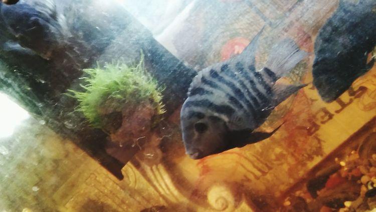 ZomyOverlord Fish Tank Convicts Underwater Moss Ball