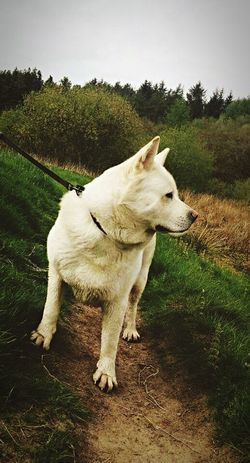Simba Akita Animal Themes Domestic Animals Pets Mammal Field Full Length Cute Pets Outdoors Livestock Animal Day Rural Scene Loyalty Grassy Pampered Pets No People Animal Love Animal Photography Beauty In Nature Dog American Akita Grass Animals