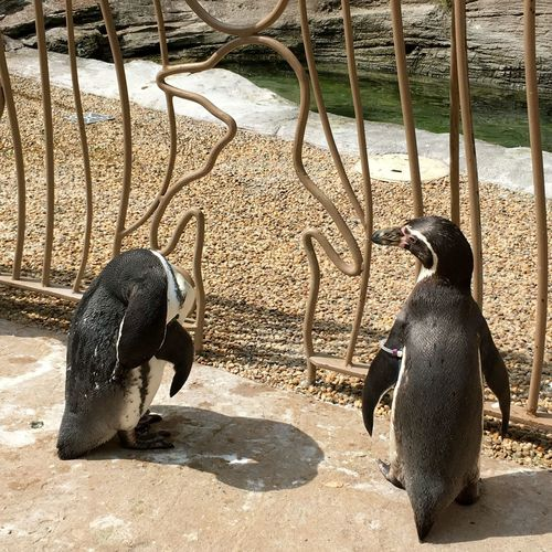 Two penguins standing at the fence in the walkthrough enclosure at Longleaf Safari Park Animal Animal Themes Animal Wildlife Avian Birds Close-up Couple Day Longleat Longleat Safari Park Nature Nature No People Outdoor Photography Outdoors Pen Penguin Shape Standing Today's Hot Look Walkthrough Wildlife Wildlife & Nature Zoo
