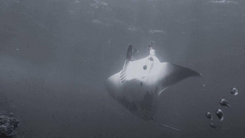 Underwater Mexico Y Su Naturaleza Underwater Photography Isla Socorro Manta Gigante