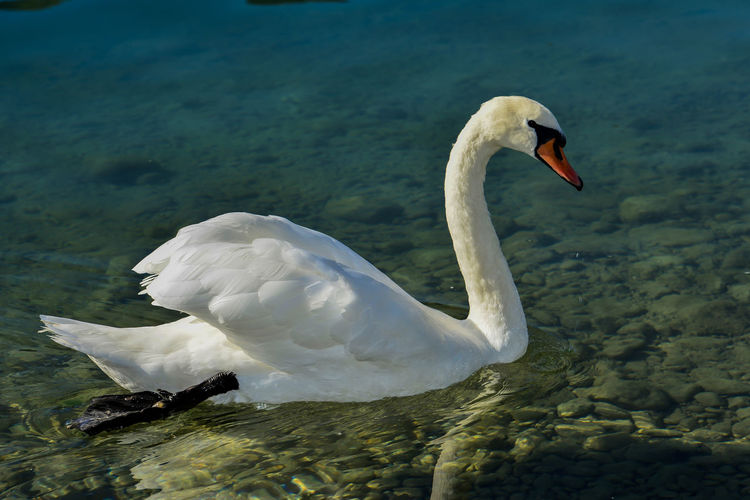 Animal Animal Behavior Animal Themes Animal Wildlife Animals In The Wild Beautiful Nature Beautiful Swan Bird Close-up Day Floating On Water Horizontal Lake Mute Swan Nature No People One Animal Outdoors Swan Swimming Water Water Bird