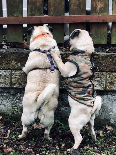 pugs Pets Dog