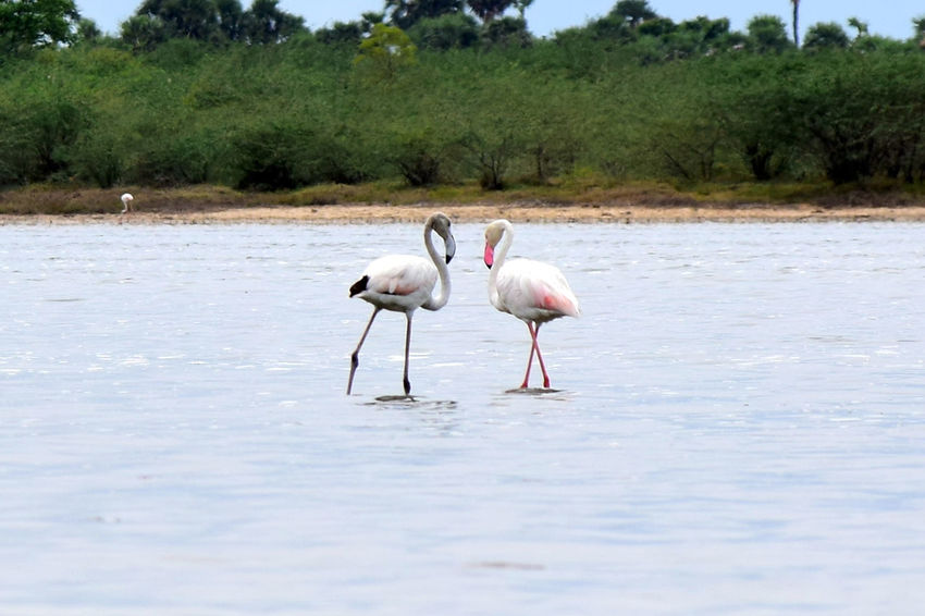 Flamingos In Love Animal Themes Animal Wildlife Animals In The Wild Beauty In Nature Bird Day Flamingos In Water Flamingos Up Close Grass Lake Nature No People Outdoors Water
