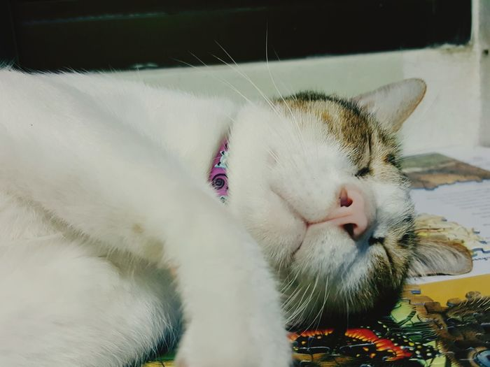 EyeEm Selects Pets Domestic Cat One Animal Domestic Animals Animal Themes Feline Mammal Indoors  Animal Whisker Eyes Closed  No People Lying Down Protruding Portrait Close-up Day Fatty Cat Sleepingcats Catportrait Lifestyles Cat♡ Cats Of EyeEm