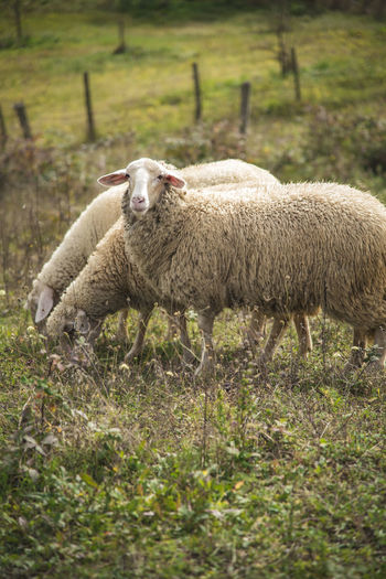Sheep grazing grass in an open summer field Animal Themes Day Domestic Animals Field Grass Livestock Mammal Nature No People One Animal Outdoors Sheep Standing