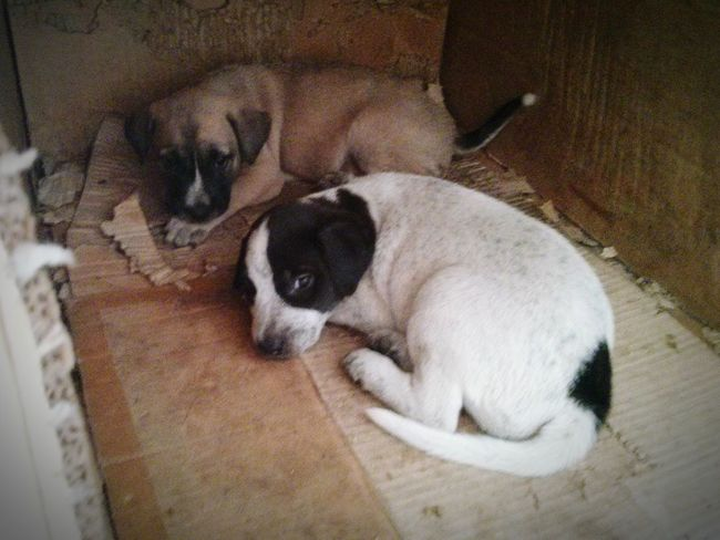 Puppies in a cardboard box in the Philippines. Dogs Puppies Stray Dog Pets Cardboard Box Philippines Poverty Dirty Grungy Curled Up Two Dogs Scared Timid White Dog Dirty Dog Abandoned Shelter Cardboard Shelter Animal Welfare Hiding