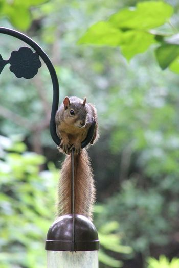Animal Wildlife One Animal Nature No People Day Outdoors Close-up Grass Animal Themes Photographer Canon_photos Canonphotography Photographic Memory Photooftheday MyPhotography My Hobby 😁 Freshness Branch Tree Bird Feedeer Squirrel Closeup Squirrel Photography Squirrelwatching