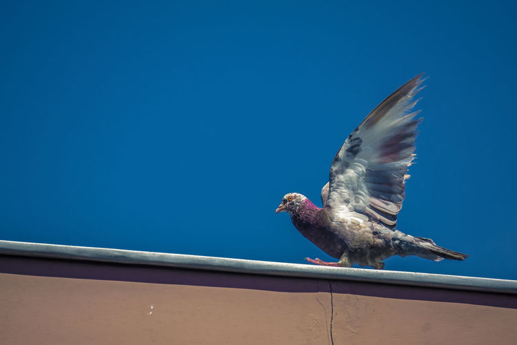 Low angle view of dove take off to fly