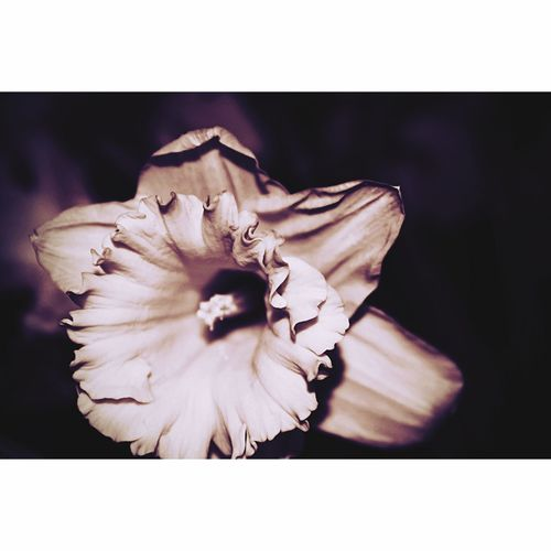 Nikon Natural Beauty Taking Photos Seasons Growth Shadow Nocolour darkness and light Daffodil Floral Photography Edited My Way Flower Auto Post Production Filter Petal Flower Head Fragility Beauty In Nature Close-up No People Nature Freshness Black Background