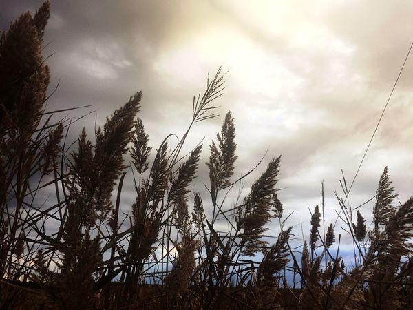 Sunset Silhouettes Marsh Grass Blackwater National Wildlife Refuge
