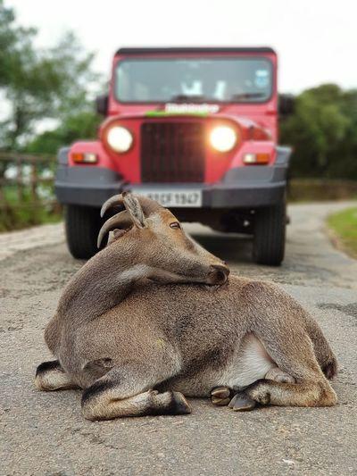 Mahindra Thar Photpgraphy Munnar Munnar Tea Estates Travel Thar Mahindra Mahindrathar Nilgiri Tahr Ibex Mountain Goats Rare Spider Red Photooftheday Photography Eravikulam Western Ghats India Occupation Road Sky Close-up