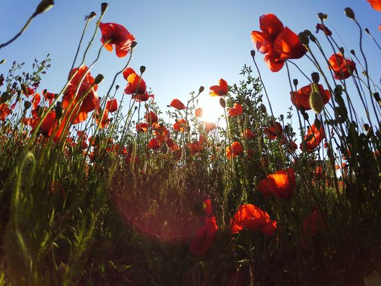 Flower Nature Beauty In Nature Sky Poppy Red Tranquility Italy Italia