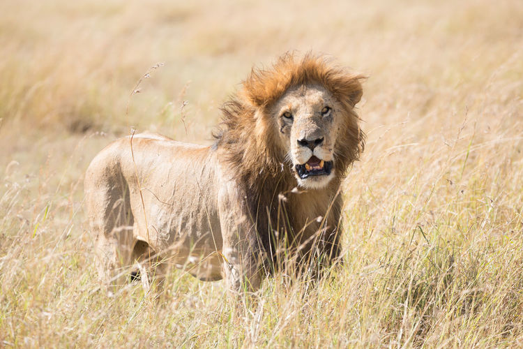 Portrait Of Lion Standing On Grassy Field