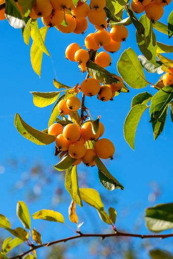 Wildapfel Branch Close-up Day Focus On Foreground Food Food And Drink Freshness Fruit Growth Healthy Eating Leaf Low Angle View Malus Nature No People Outdoors Plant Plant Part Ripe Sky Tree Yellow